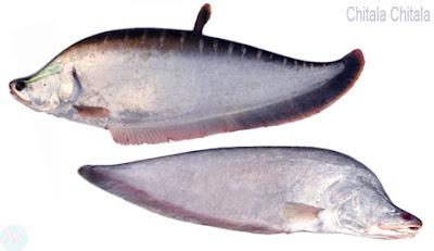chitala chitala fish, চিতল মাছ
