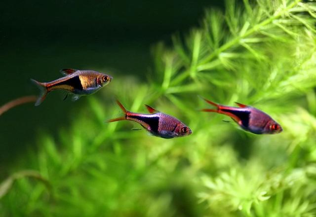 cá tam giác bơi đàn trong bể thủy sinh