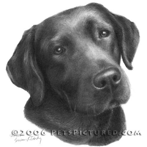 09-Chocolate-Labrador-Retriever-Susan-Donley-Cats-and-Dogs-Featured-in-Pencil-Portraits-www-designstack-co