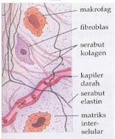 Setiap organ di tubuh insan dan binatang tersusun atas beberapa jaringan dengan spesialisas Jaringan Ikat : Fungsi, Ciri, Klasifikasi, Gambar, dan Letaknya