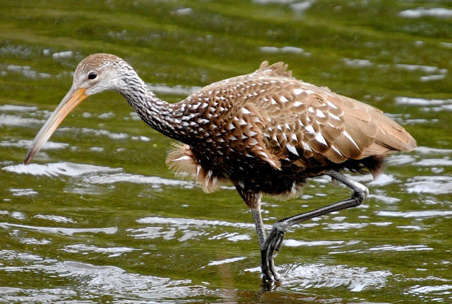 Limpkin, a Tropical Wading Bird in the U.S..