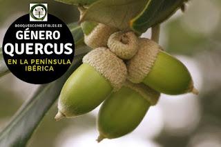 El género Quercus son arboles perennifolios a caducifolios con ramas abiertas, entre erguidas y horizontales