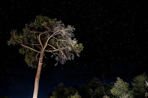 nocturna-pino-liso