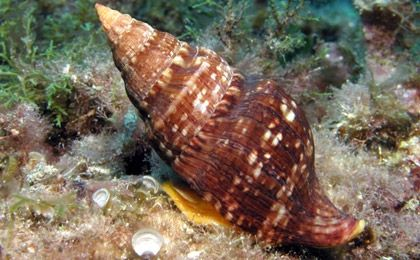 Gasterópodo marino. Caracol bajo el mar