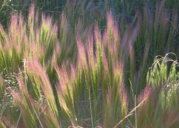 Nature Abhors A Garden Red Three Awn Grass