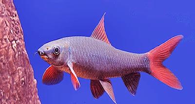 red finned shark