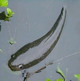 umpanmancing Cara Memancing Ikan Gabus
