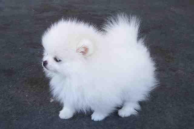 Teacup Pomeranian Puppies For Sale