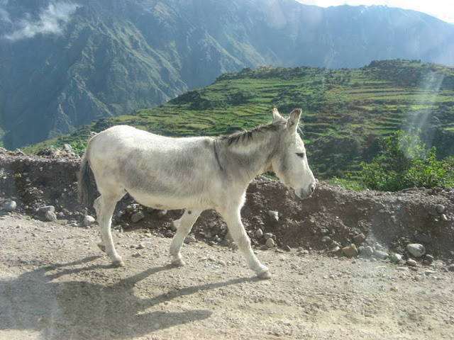 donkey in Colca Canyon, Peru