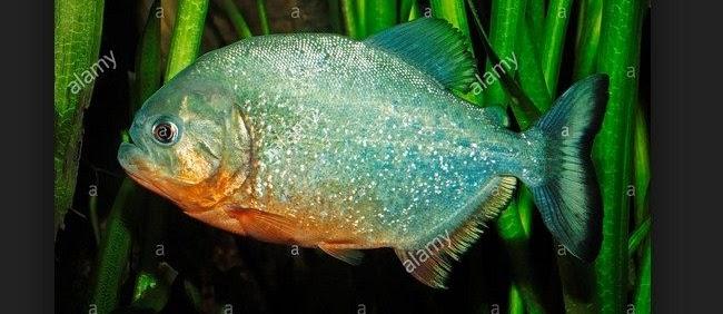 Ikan Piranha, Jenis dan Cara Merawatnya