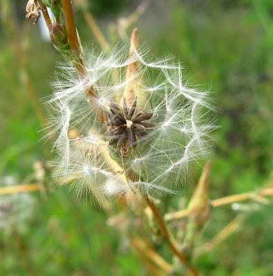 weed, golden ratio