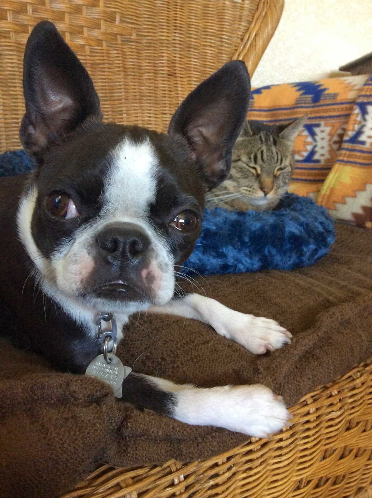 Sinead the Boston terrier and Eamon the cat