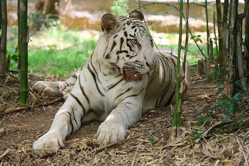 Macan Putih-Bangalore
