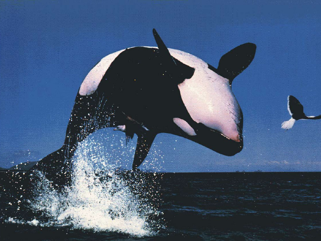 Cute Wallpapers With Quotes In Hindi All Photos Gallery Orca Jumping Orca Jumping Out Of