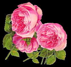 Antique Images: Digital Botanical Artwork Pink Rose Clip
