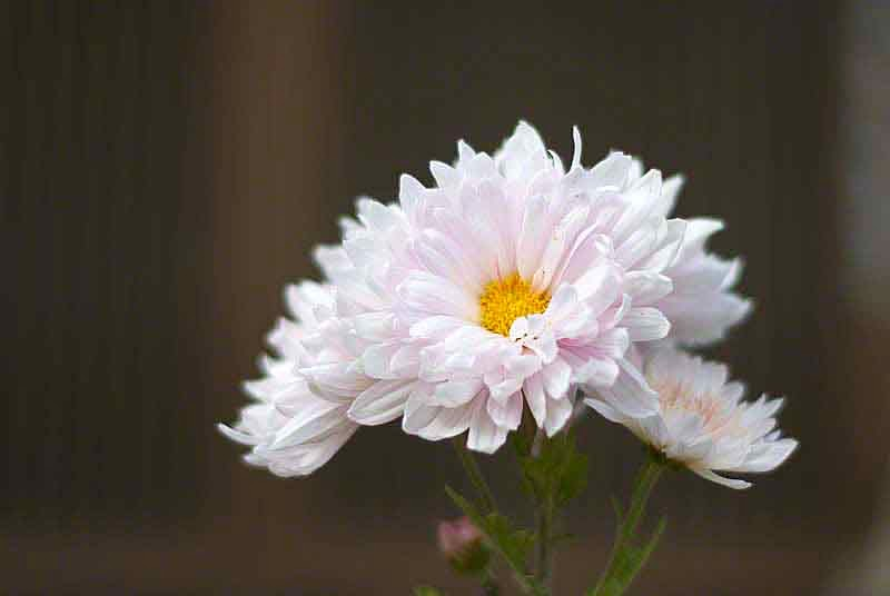 Chrysanthemum, white and yellow