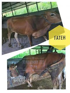 karakteristik keunggulan Limousin dan Simental