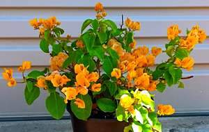 Picture of Propagated Bougainvillea by cutting