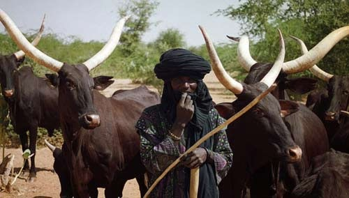 Stop buying Fulani herdsmen's cows, Igbo youths warn kinsmen