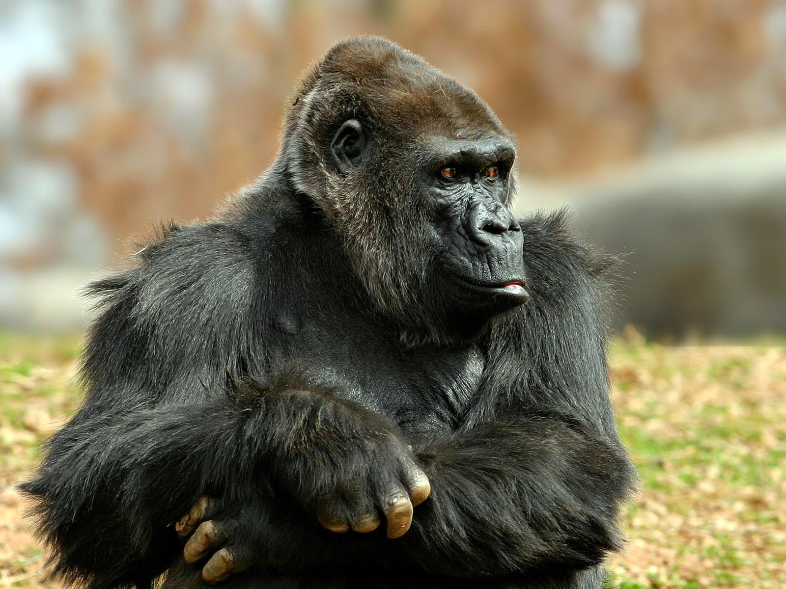 Cute Animals Love Wallpapers Gorilla Hd Wallpapers Hd Wallpapers