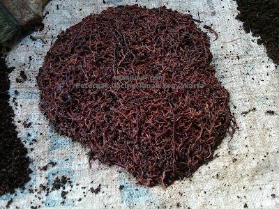 http://www.masjusdi.com/2015/01/hobi-ternak-cacing-tanah.html