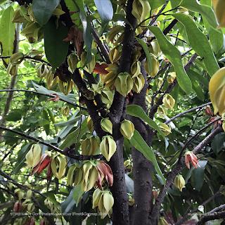 ต้นข้าวหลามดง ไม้ดอกหอม วงศ์กระดังงา Goniothalamus laoticus