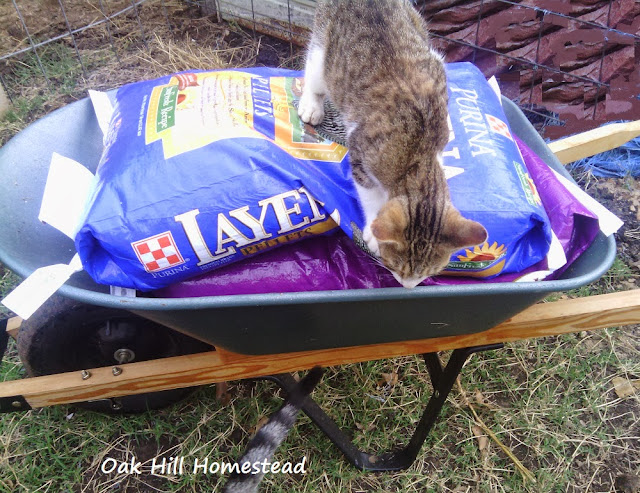 Aging on the homestead: use a wheelbarrow to move heavy feed sacks and other items. Find more tips in this post.