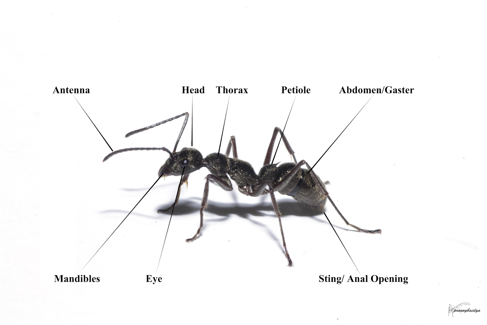 ant parts diagram plot graphic organizer pdf simple of an bing images