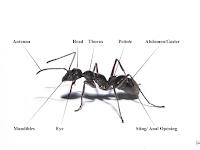 Ant Diagram