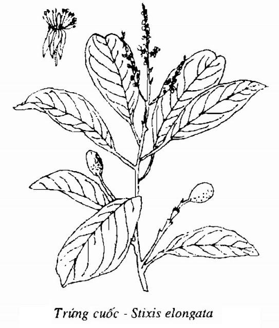 Hình vẽ Cây Trứng cuốc - Stixis elongata - Nguyên liệu làm thuốc Chữa Tê Thấp và Đau Nhức
