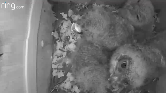 Owlets at 16 Days Old