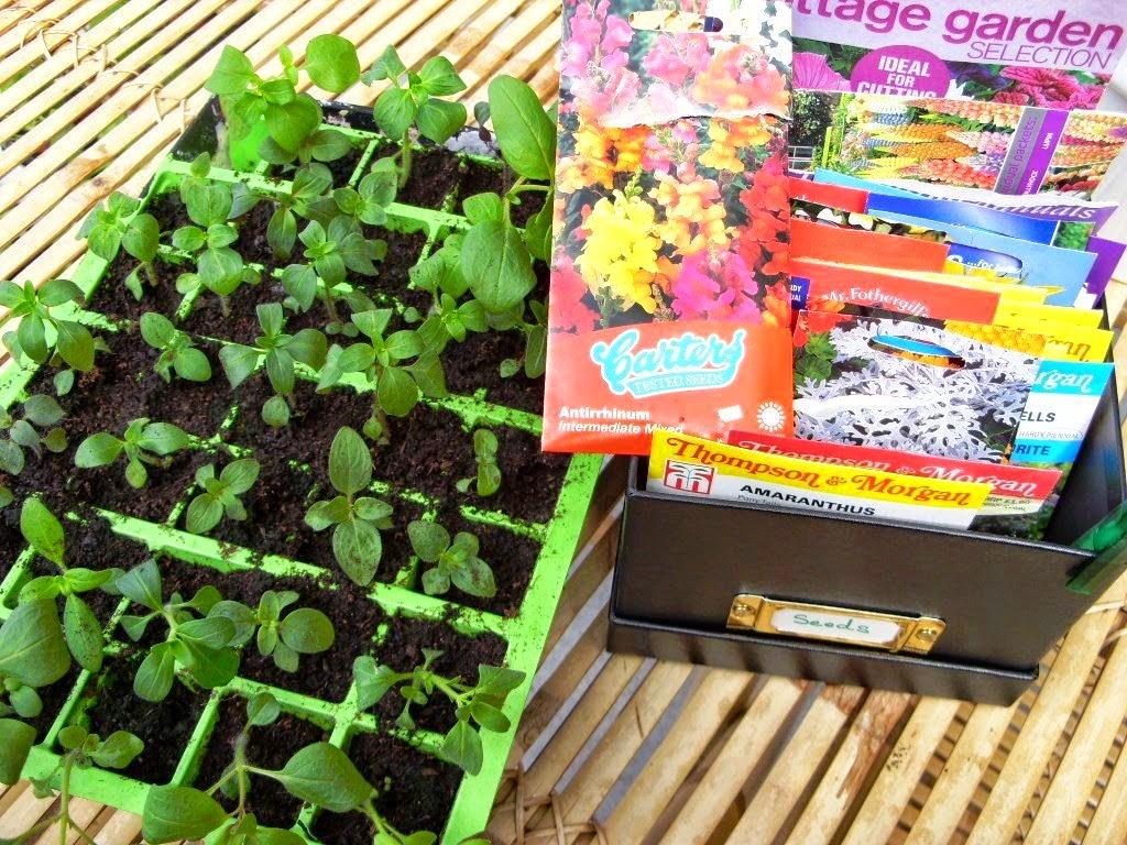 Yıllık dahlialar - hızlı bir şekilde tohumlardan yetişme