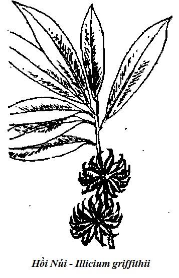 Hình vẽ cây Hồi Núi-Illicium griffithii-Nguyên liệu làm thuốc Có Chất Độc