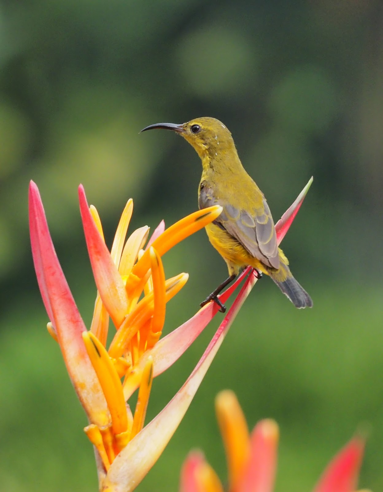 Picture of a female sunbird.