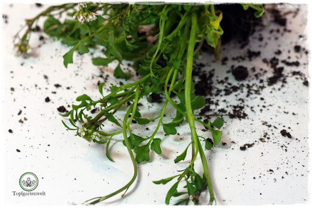 Gartenblog Topfgartenwelt Wird das was oder kann das weg? - Schaumkraut