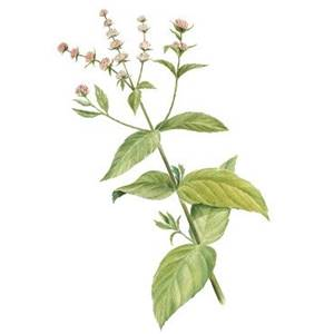 Hortelã-pimenta, nome científico: Mentha piperita