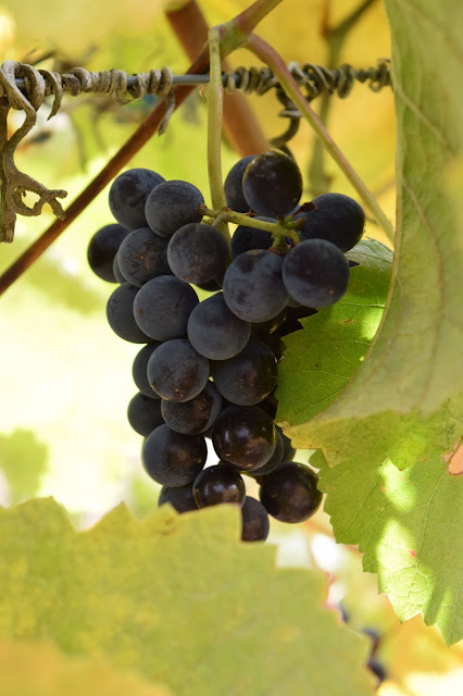 pinot noir grapes, cristom vineyards