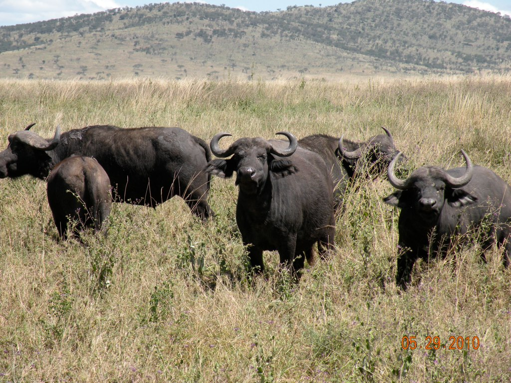 buffalo the great animal of the Buffalo the great animal of the plainsbuffalos or bison are one of the beasts  that used to freely roam the wild west they are one of the.