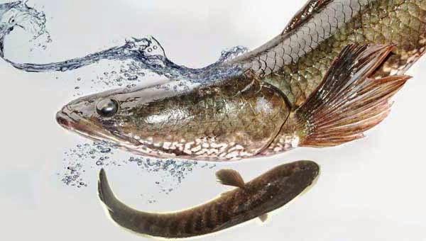 Ikan Gabus Sebagai Bahan Olahan Makanan