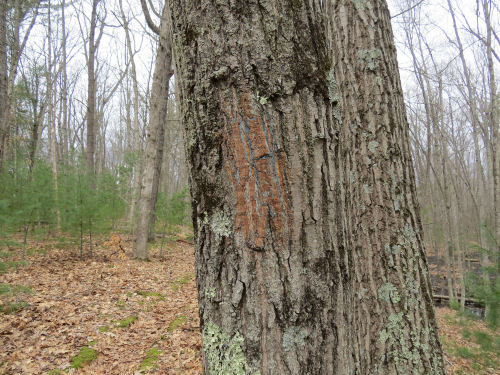 scraped tree for painted trail blaze