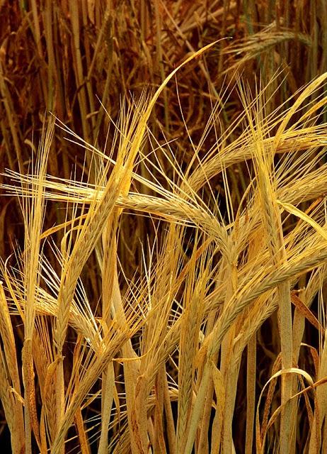 Đại Mạch - Lúa Mạch - mạch nha Hordeum sativum - Nguyên liệu làm thuốc Chữa Bệnh Tiêu Hóa