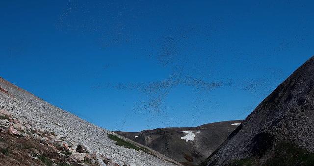 Dovekies Greenland, birds of Newfoundland
