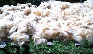 lã de ovelha iniciando a limpeza