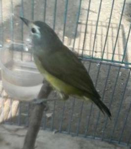 Suara Burung Opior Jawa (pia-pia)