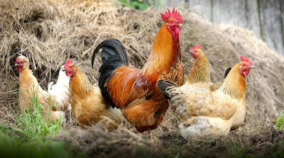 ternak ayam negeri, ternak ayam di kampung, telur ayam kampung