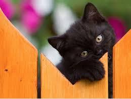 O gato (Felis silvestris catus), também conhecido como gato caseiro, gato urbano ou gato doméstico, é um animal da Família dos felídeos, muito popular como animal de estimação. Ocupando o topo da cadeia alimentar, é um predador natural de diversos animais, como roedores, pássaros, lagartixas e alguns insetos.