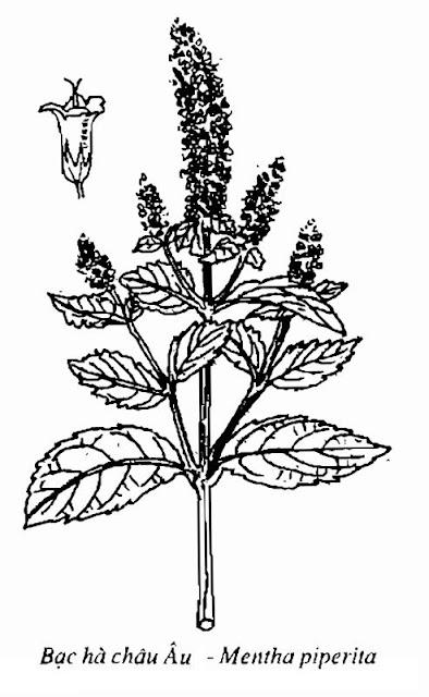 Hình vẽ Bạc Hà châu Âu - Mentha piperita - Nguyên liệu làm thuốc Chữa Cảm Sốt