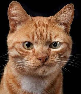 Ekspresi kucing lucu saat marah bikin ngakak