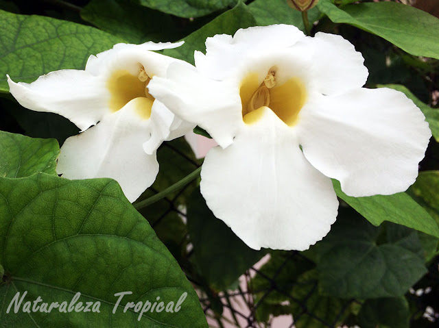 Variedad blanca de la flor tumbergia, género Thunbergia