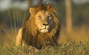 Guanduanian national mammal: the lion